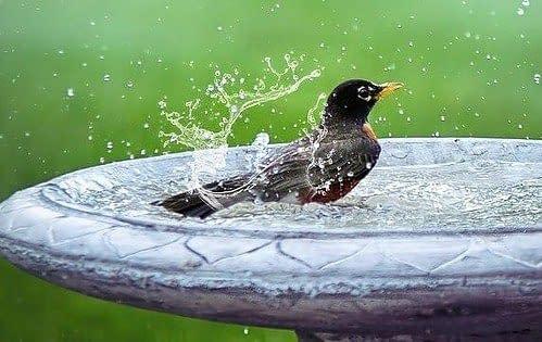 bathing black bird in birdbath
