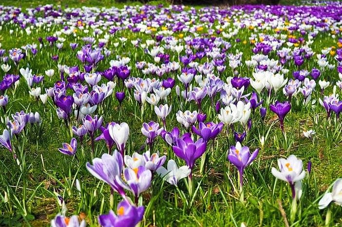 a field of blue and white crocuses