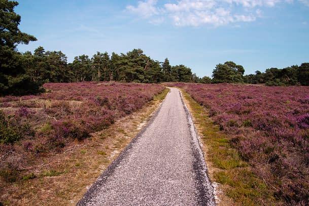 purple flowering erica in Veluwe National park