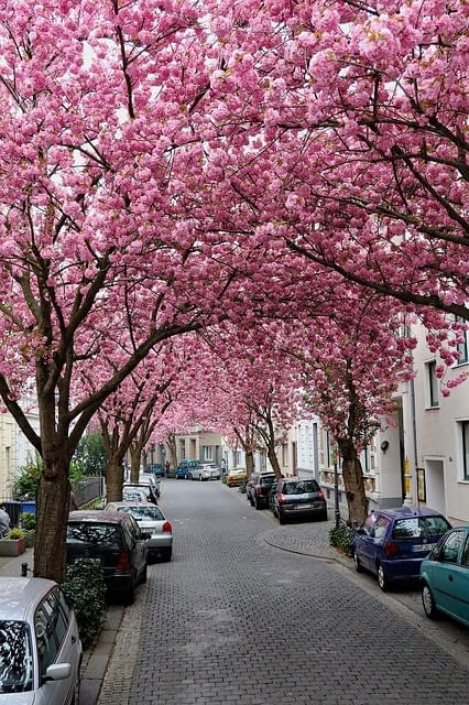Bonn, old city, Blossoms in the street