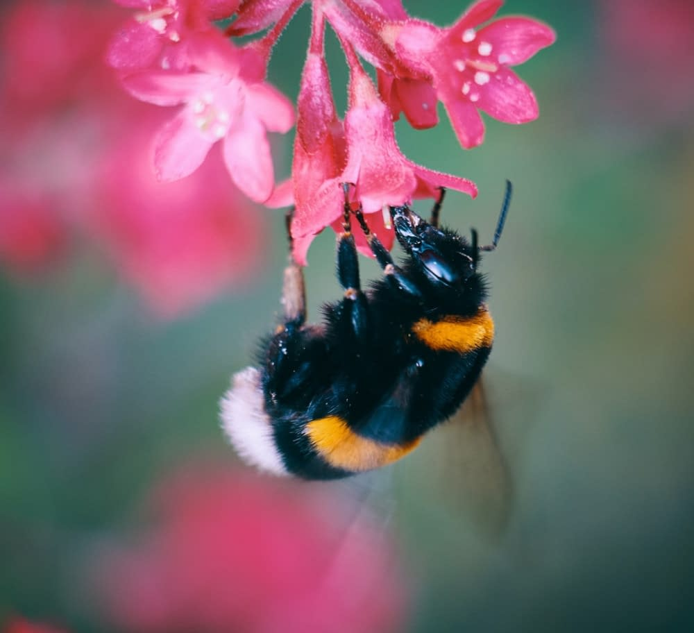 bumblebee on a red flower