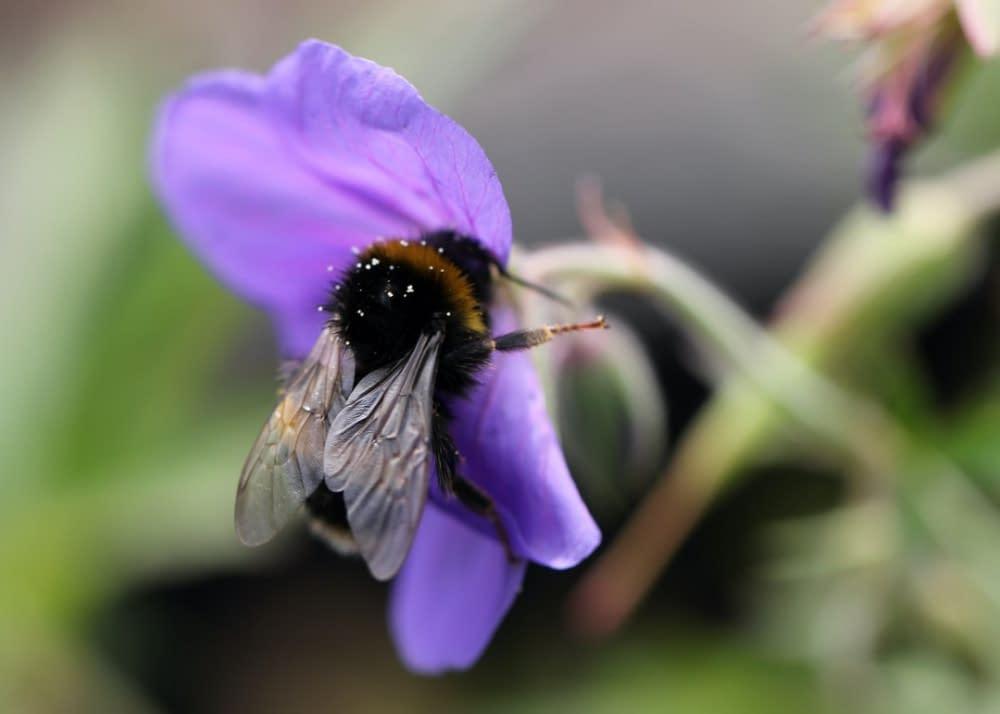 a bumblebee on a purple flower, Iris