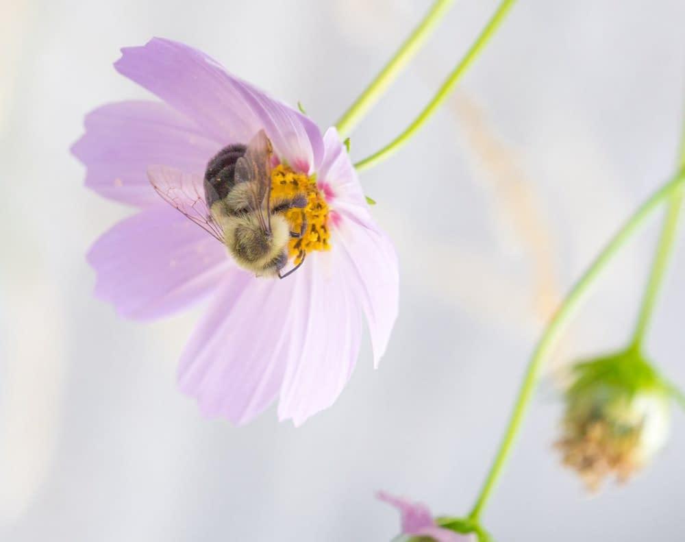 a bee on a light purple flower