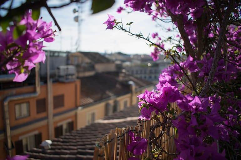 bougainvilla plants, purple on a roof