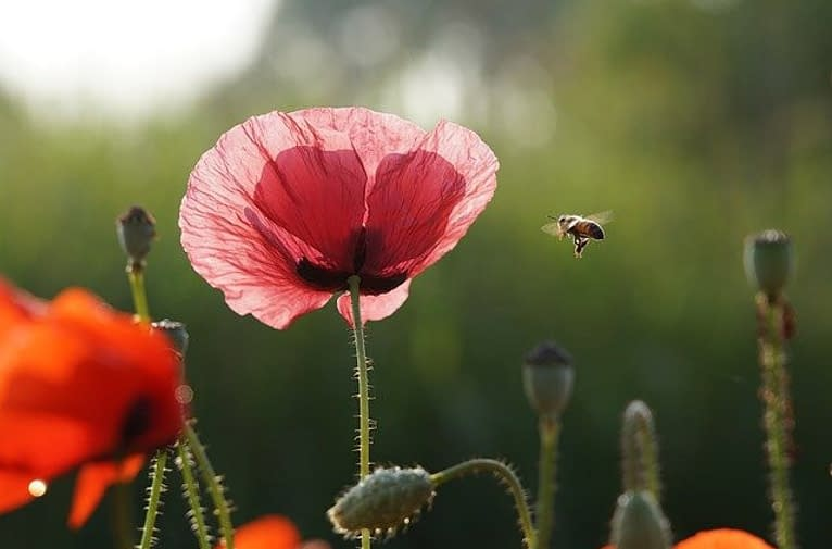 a bee flies to a papaver
