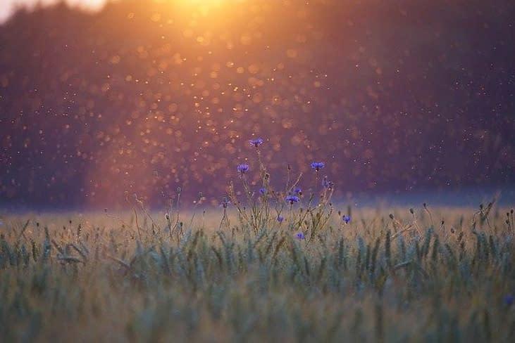 mosquitos dancing in a field