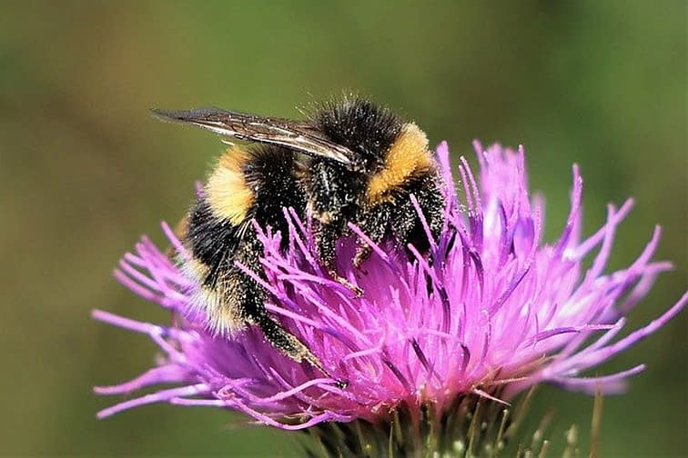 bumblebee on a purple colored thistle