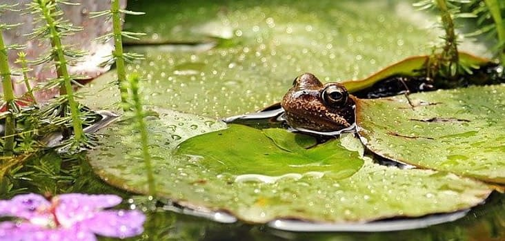 a frog on a leaf of a waterlilly in a pond