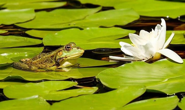 a green frog surrounded by water lilies