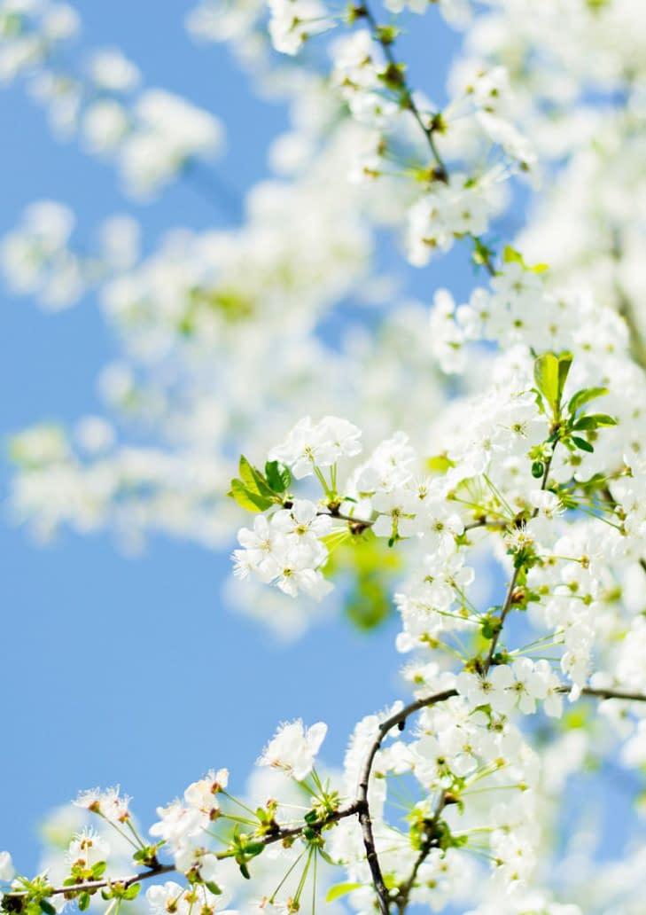 spring, white blossom