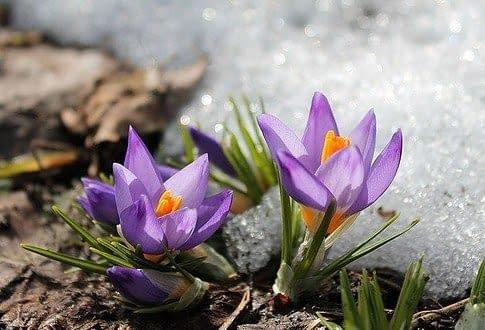 crocus i early spring