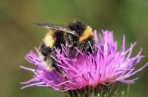 a bumblebee on a thistle