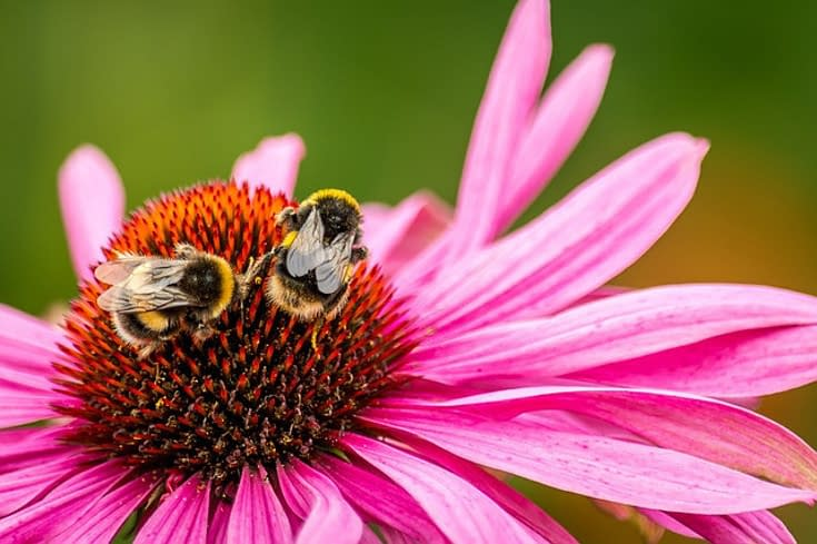 two bumblebees on a purple flower