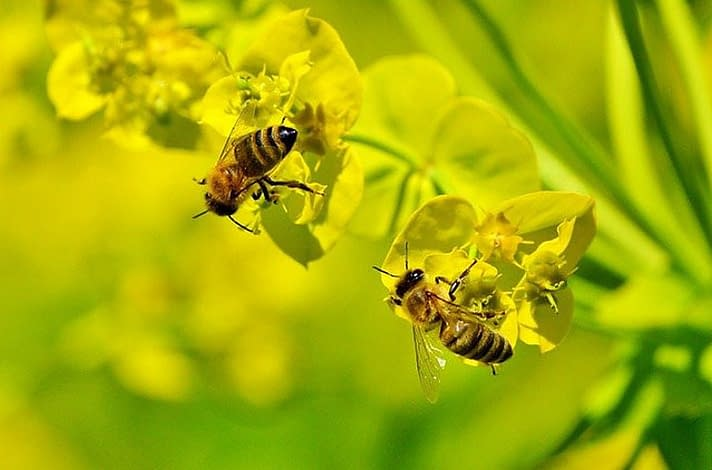 busy bees on yellow flower