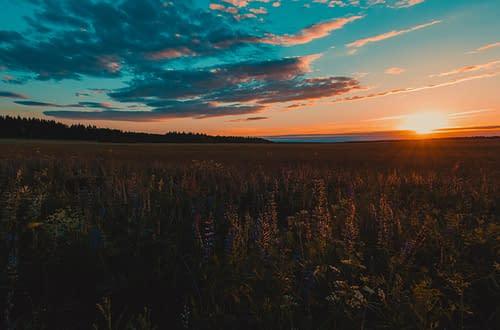 sunset on a wildflower field