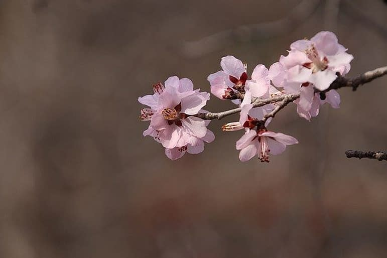 blossoming peach tree , branche