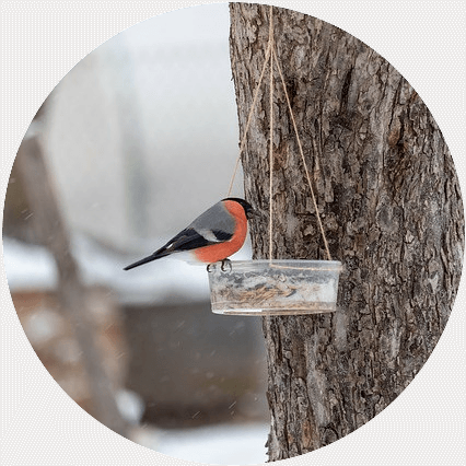 a bullfinch eating from a hanging bowl in winter