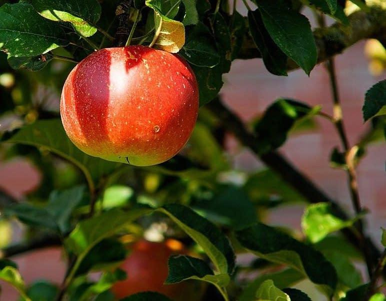 an apple on a apple tree